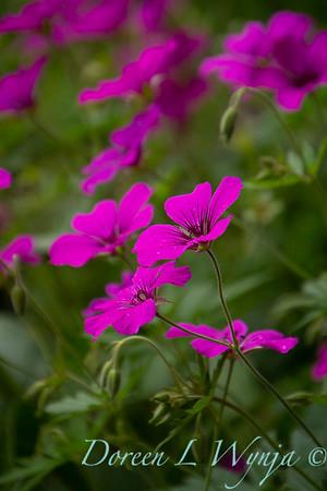Geranium cinereum var  subcaulescens_6687