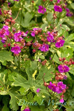 Geranium macrorrhizum Variegatum_004