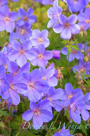 Geranium Johnsons Blue_001
