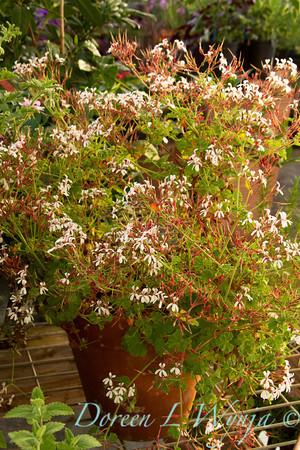 Geranium Pine scented_016