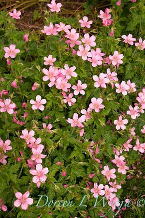 Geranium x oxonianum 'Wargrave Pink'_2130