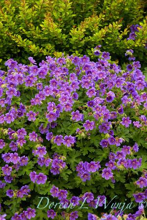 Geranium himalayense_012