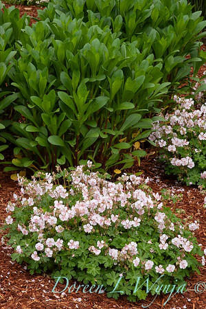 Geranium x cantabrigiense 'Biokovo'_1013
