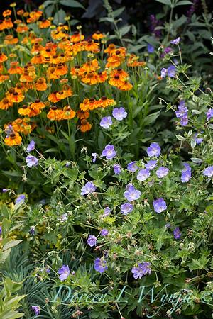 Geranium x 'Rozanne' - Helenium 'Mardi Gras'_5056