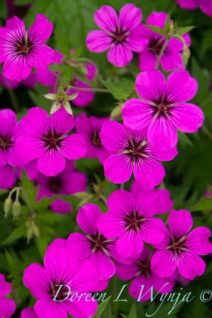 Geranium cinereum var  subcaulescens_6690