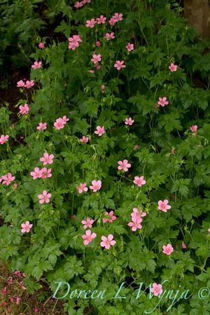 Geranium x oxonianum 'Wargrave Pink'_2122