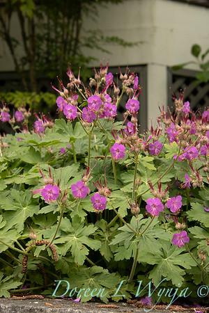 Geranium macrorrhizum_6452