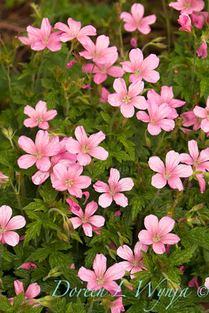 Geranium x oxonianum 'Wargrave Pink'_2132