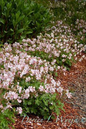 Geranium x cantabrigiense 'Biokovo'_1016