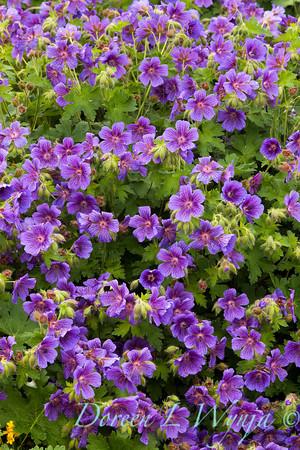 Geranium himalayense_004