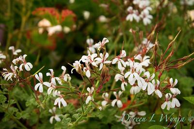 Geranium Pine scented_009