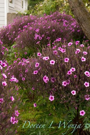 Cranesbill; Geranium; Geranium maderense; giant geranium; Madeiran Cranesbill; Madiera Island Geranium