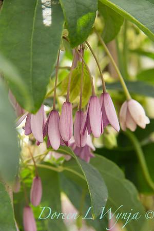 5637 Holboellia latifolia 'Ritak'_1373
