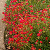Helianthemum 'Red Dragon'_853