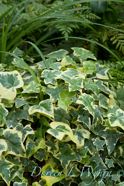 Hedera helix Variegated_011