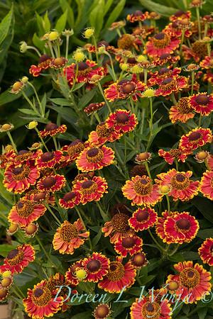43122 Helenium autumnale 'Bandera' Mariachi_0211
