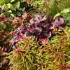 Heucherella 'Glacier Falls' - Heuchera 'Midnight Rose'_2160