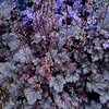 Heuchera Plum Pudding_005