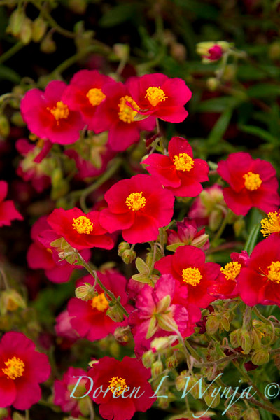 Helianthemum 'Red Dragon'_855