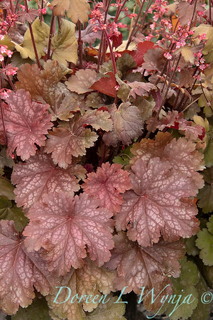 42915 Heuchera hybridus 'Cinnamon Glaze'_2264