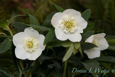 Helleborous single white anemone_0992