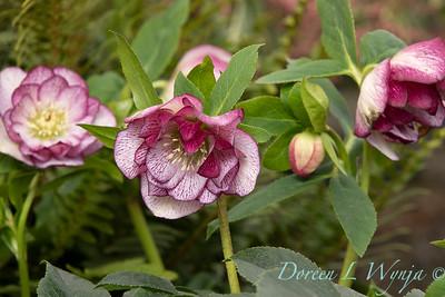 Helleborus 'Cherry Blossom' H2_0867