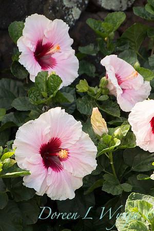 Hibiscus rosa sinensis 'High Voltage'_2044