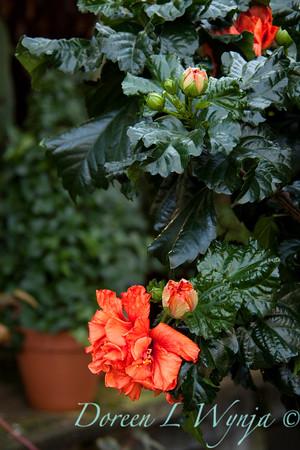 Hibiscus rosa sinensis Double Orange_010