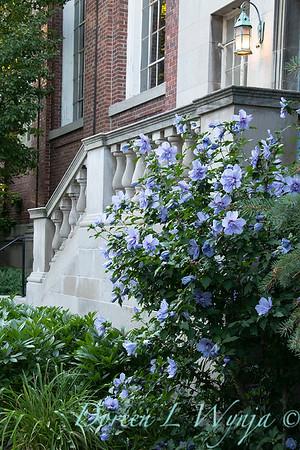 Hibiscus syriacus 'Notwoodthree' - Blue Chiffon_1579