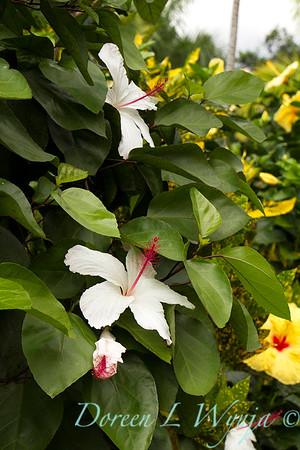 Hibiscus arnottianus_0341