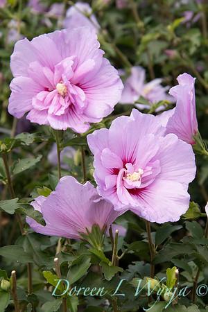 Hibiscus syriacus 'Notwoodone' Lavender Chiffon_1552