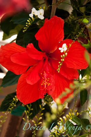 Hibiscus rosa sinensis_001
