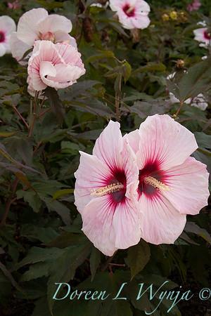 Hibiscus moscheutos 'Tahi12' Carousel Pink Candy_9473