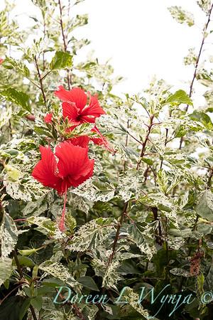 Hibiscus rosa-sinensis 'Cooperi' Cooper's Snowflake_0312