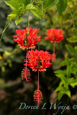 Hibiscus schizopetalus_039