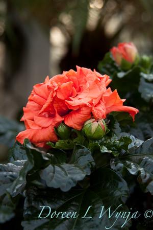 Hibiscus rosa sinensis Double Orange_002