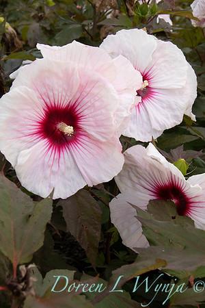Hibiscus moscheutos 'Tahi12' Carousel Pink Candy_9476