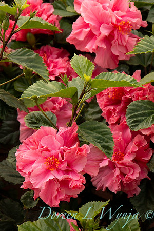 Hibiscus_8051