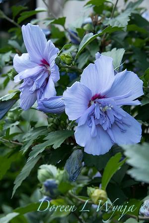Hibiscus syriacus 'Notwoodthree' - Blue Chiffon_1594