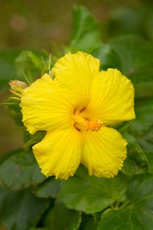 Hibiscus brackenridgei_052