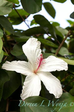 Hibiscus arnottianus_0347