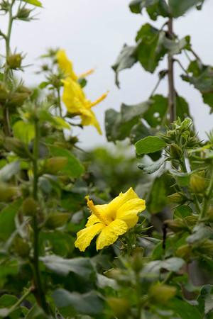 Hibiscus brackenridgei_030