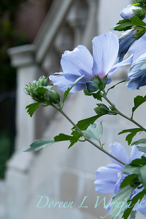 Hibiscus syriacus 'Notwoodthree' - Blue Chiffon_1596