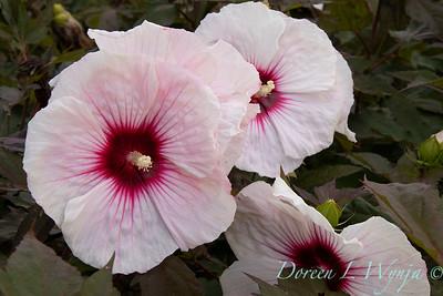 Hibiscus moscheutos 'Tahi12' Carousel Pink Candy_9474