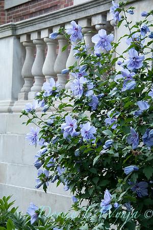 Hibiscus syriacus 'Notwoodthree' - Blue Chiffon_1582