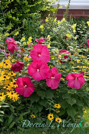 Hibiscus moscheutos - Rudbeckia cottage garden_9466