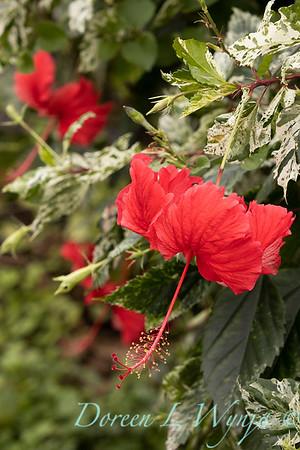 Hibiscus rosa-sinensis 'Cooperi' Cooper's Snowflake_0332