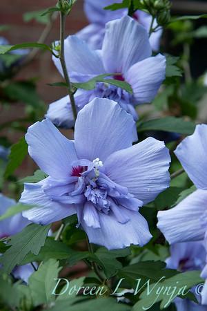 Hibiscus syriacus 'Notwoodthree' - Blue Chiffon_1593
