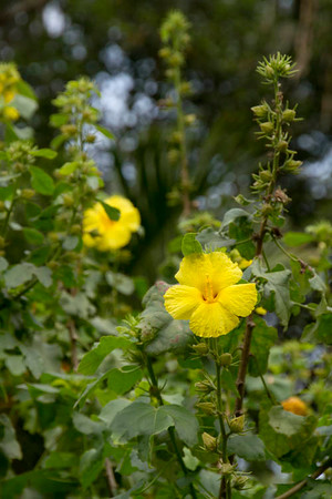 Hibiscus brackenridgei_043