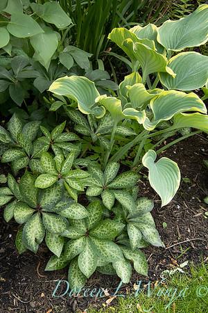 Helleborus x hybridus 'ABCRD01' FrostKiss Penny's Pink - Hosta_1733